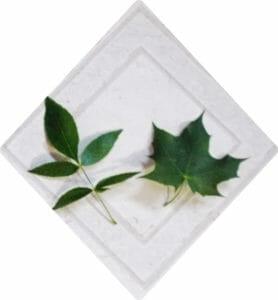 Ash Leaf vs. Maple--Just a little bit different