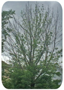 The Ash Tree: Once elegant, now painfully exposed