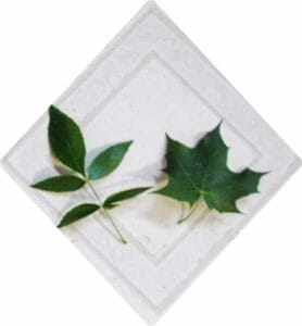Ash Leaf vs. Maple--Just a little bit different